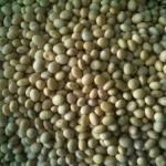 Cung cấp đậu nành Mỹ loại 1 và loại 2 số lượng lớn
