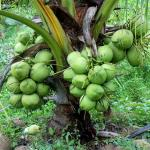 Cây giống Dừa thơm Island
