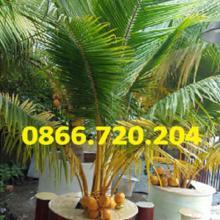 Độc đáo ý tưởng trồng dừa trong chậu