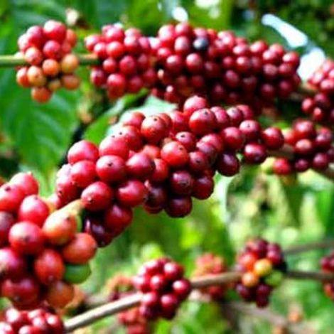Cung cấp cà phê hạt bột, xanh chưa rang các loại